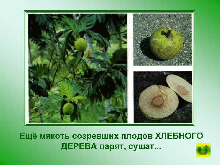 Ещё мякоть созревших плодов ХЛЕБНОГО ДЕРЕВА варят, сушат. . .