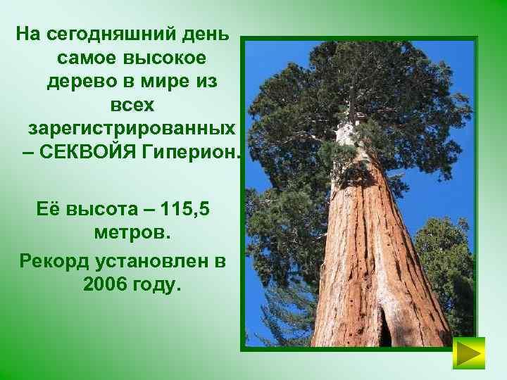 На сегодняшний день самое высокое дерево в мире из всех зарегистрированных – СЕКВОЙЯ Гиперион.