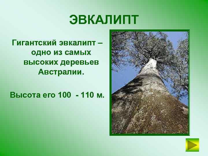 ЭВКАЛИПТ Гигантский эвкалипт – одно из самых высоких деревьев Австралии. Высота его 100 -