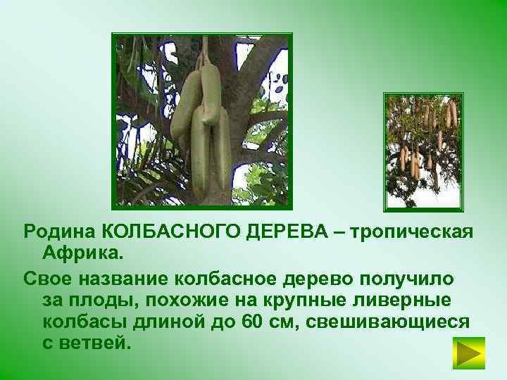 Родина КОЛБАСНОГО ДЕРЕВА – тропическая Африка. Свое название колбасное дерево получило за плоды, похожие