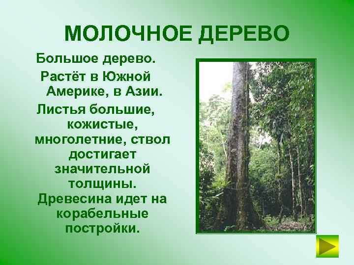 МОЛОЧНОЕ ДЕРЕВО Большое дерево. Растёт в Южной Америке, в Азии. Листья большие, кожистые, многолетние,