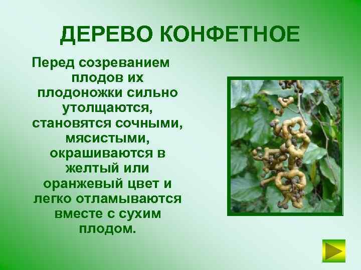 ДЕРЕВО КОНФЕТНОЕ Перед созреванием плодов их плодоножки сильно утолщаются, становятся сочными, мясистыми, окрашиваются в
