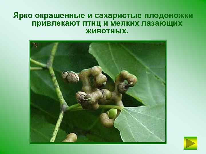 Ярко окрашенные и сахаристые плодоножки привлекают птиц и мелких лазающих животных.
