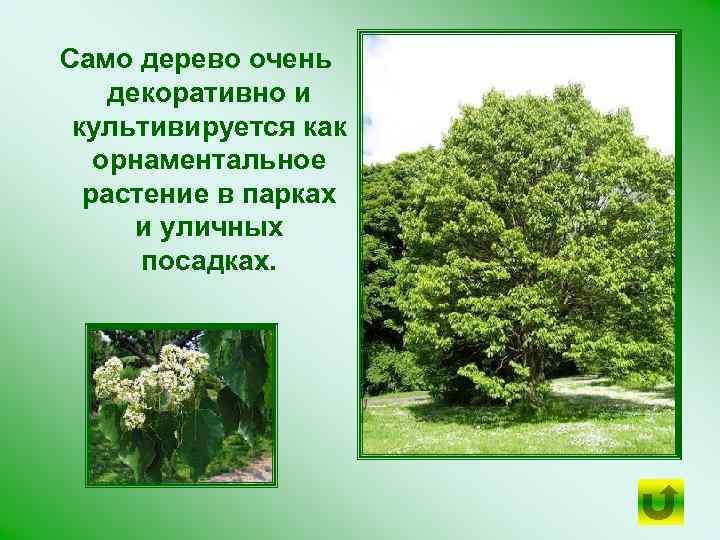 Само дерево очень декоративно и культивируется как орнаментальное растение в парках и уличных посадках.