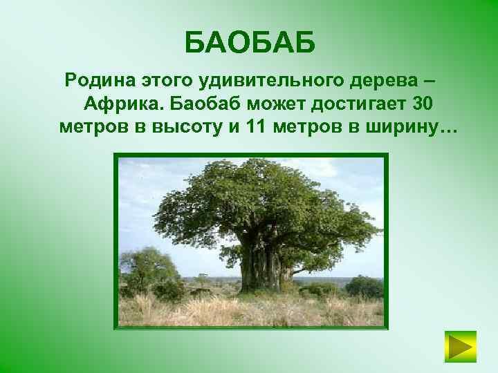 БАОБАБ Родина этого удивительного дерева – Африка. Баобаб может достигает 30 метров в высоту
