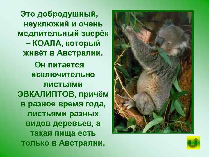Это добродушный, неуклюжий и очень медлительный зверёк – КОАЛА, который живёт в Австралии. Он