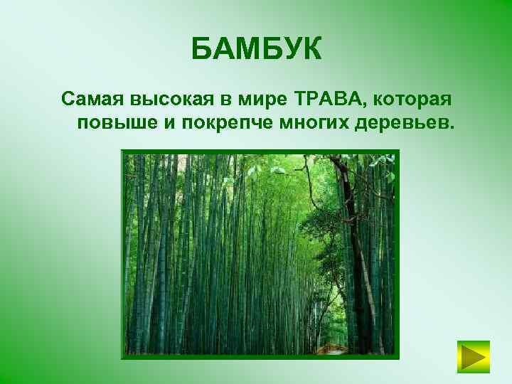 БАМБУК Самая высокая в мире ТРАВА, которая повыше и покрепче многих деревьев.