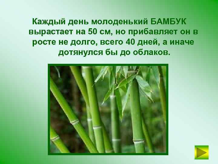 Каждый день молоденький БАМБУК вырастает на 50 см, но прибавляет он в росте не