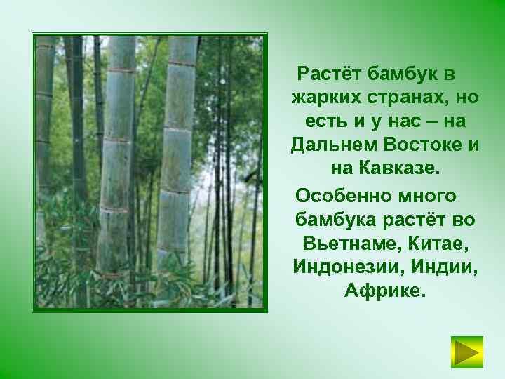Растёт бамбук в жарких странах, но есть и у нас – на Дальнем Востоке
