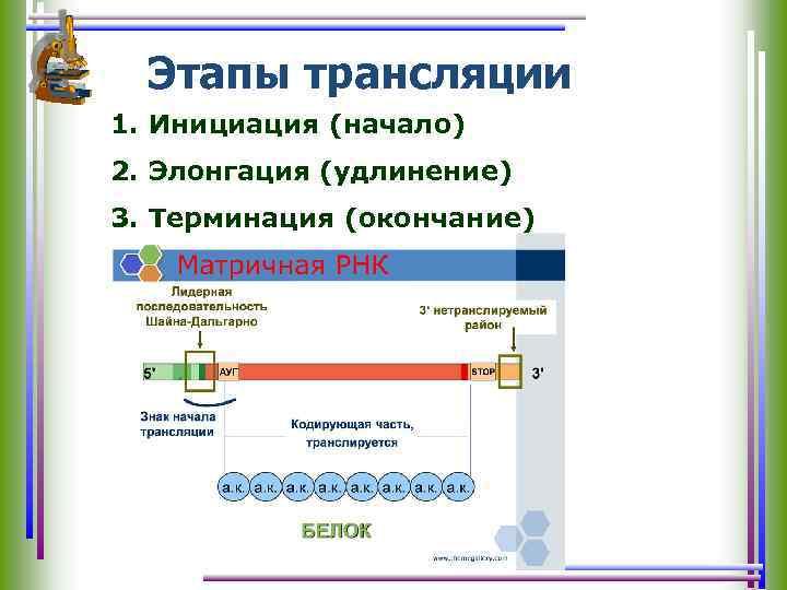 Этапы трансляции 1. Инициация (начало) 2. Элонгация (удлинение) 3. Терминация (окончание)