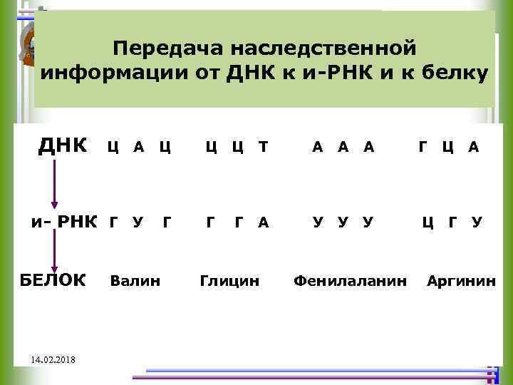 Передача наследственной информации от ДНК к и-РНК и к белку ДНК А Ц Ц