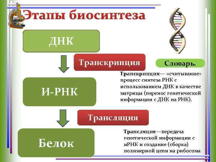 Этапы биосинтеза ДНК Транскрипция И-РНК Словарь. Транскрипция— «считывание» процесс синтеза РНК с использованием ДНК