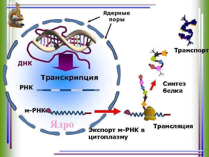 Ядерные поры Транспорт ДНК Транскрипция РНК Синтез белка м-РНК Ядро Экспорт м-РНК в цитоплазму
