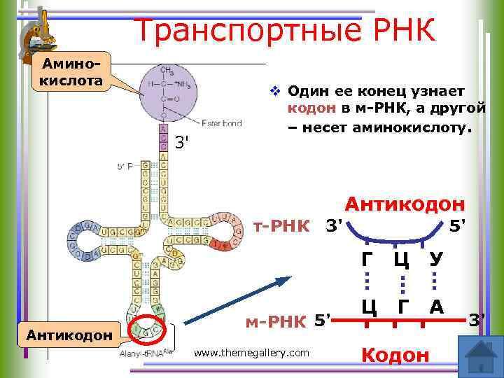 Транспортные РНК Аминокислота 3' v Один ее конец узнает кодон в м-РНК, а другой