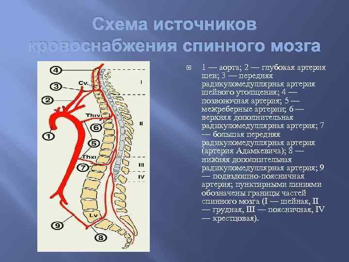 Схема источников кровоснабжения спинного мозга 1 — аорта; 2 — глубокая артерия шеи; 3