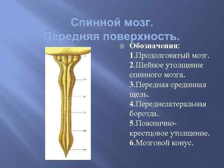 Спинной мозг. Передняя поверхность. Обозначения: 1. Продолговатый мозг. 2. Шейное утолщение спинного мозга. 3.