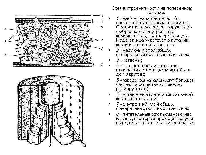 Схема строения кости на поперечном сечении: • 1 - надкостница (periosteum) соединительнотканная пластинка. Состоит