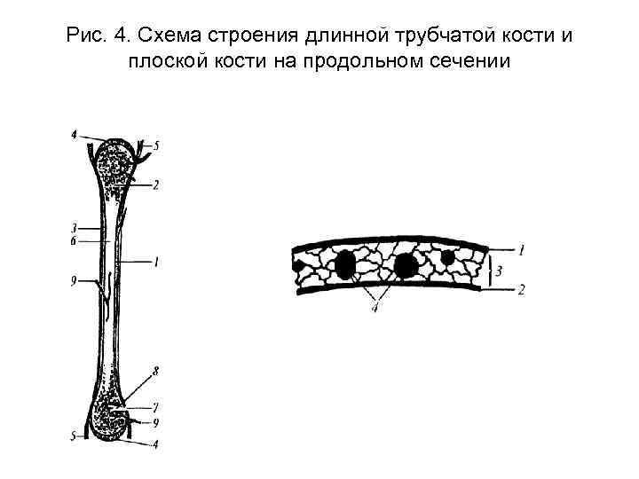 Рис. 4. Схема строения длинной трубчатой кости и плоской кости на продольном сечении