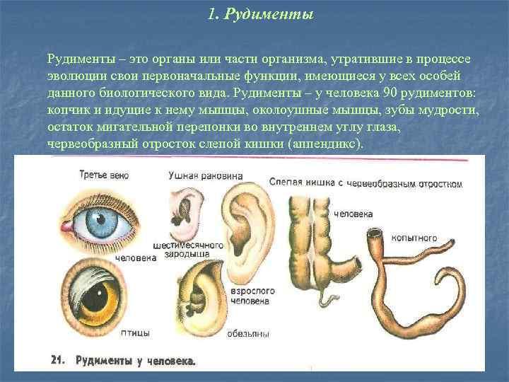 1. Рудименты – это органы или части организма, утратившие в процессе эволюции свои первоначальные