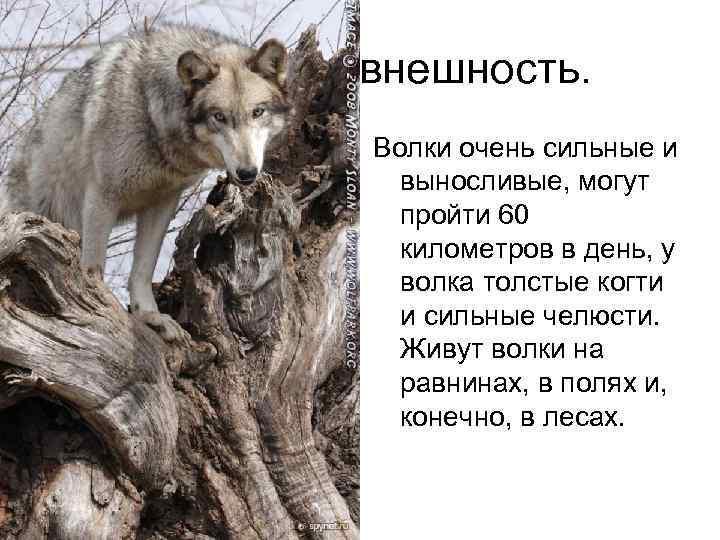 внешность. Волки очень сильные и выносливые, могут пройти 60 километров в день, у волка