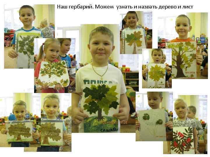 Наш гербарий. Можем узнать и назвать дерево и лист