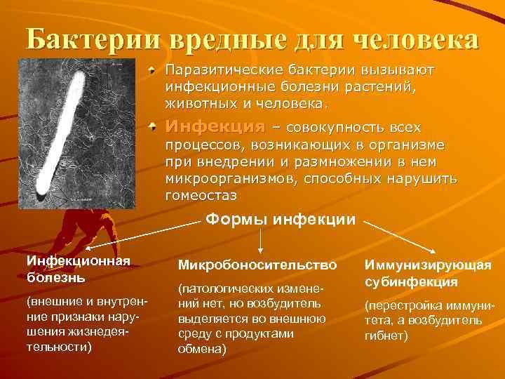 Бактерии вредные для человека Паразитические бактерии вызывают инфекционные болезни растений, животных и человека. Инфекция