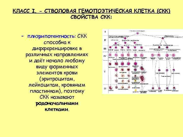 КЛАСС I. - СТВОЛОВАЯ ГЕМОПОЭТИЧЕСКАЯ КЛЕТКА (СКК) СВОЙСТВА СКК: – плюрипотентность: СКК способна к