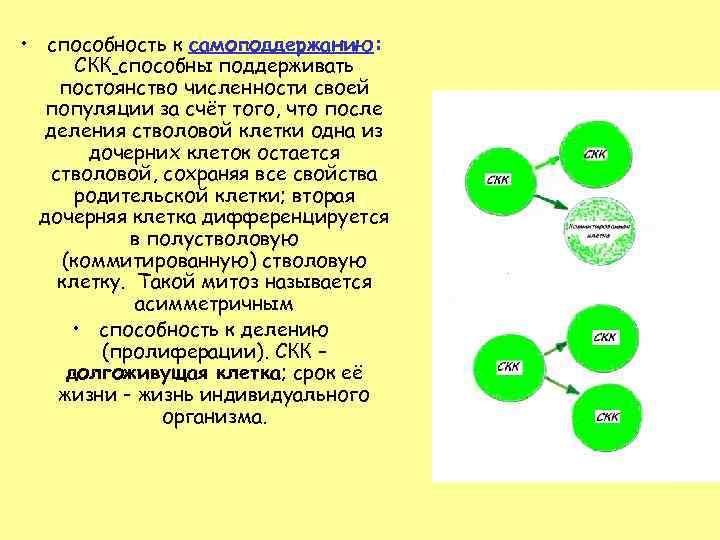 • способность к самоподдержанию: СКК способны поддерживать постоянство численности своей популяции за счёт