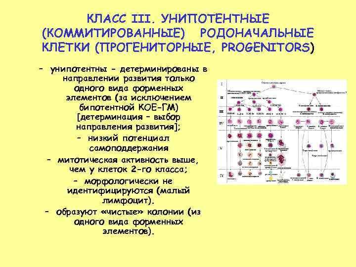 КЛАСС III. УНИПОТЕНТНЫЕ (КОММИТИРОВАННЫЕ) РОДОНАЧАЛЬНЫЕ КЛЕТКИ (ПРОГЕНИТОРНЫЕ, PROGENITORS) – унипотентны - детерминированы в направлении