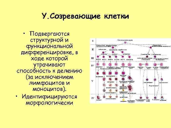 Y. Созревающие клетки • Подвергаются структурной и функциональной дифференцировке, в ходе которой утрачивают способность