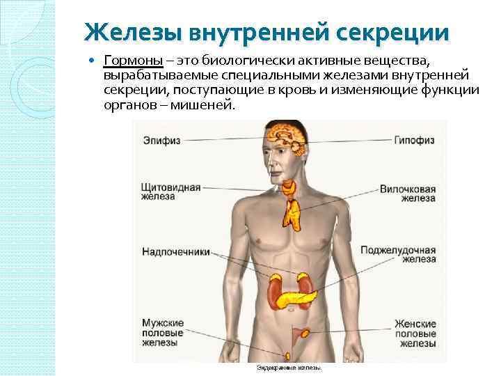 Железы внутренней секреции Гормоны – это биологически активные вещества, вырабатываемые специальными железами внутренней секреции,