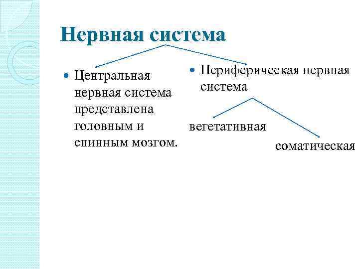 Нервная система Периферическая нервная Центральная система нервная система представлена головным и вегетативная спинным мозгом.