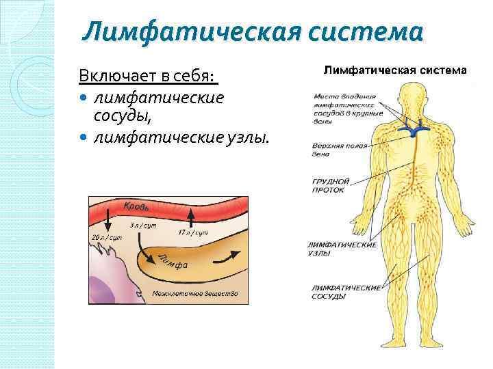 Лимфатическая система Включает в себя: лимфатические сосуды, лимфатические узлы.