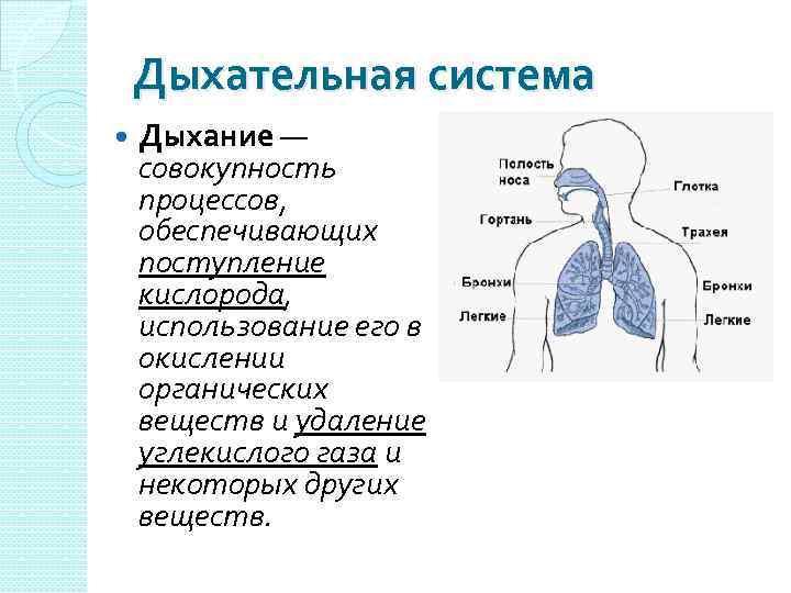 Дыхательная система Дыхание — совокупность процессов, обеспечивающих поступление кислорода, использование его в окислении органических