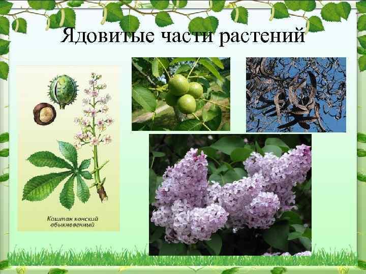 Ядовитые части растений