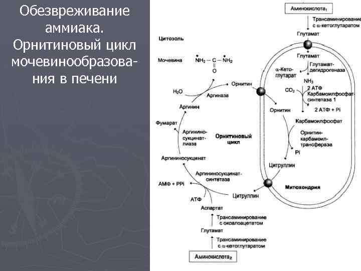 Обезвреживание аммиака. Орнитиновый цикл мочевинообразования в печени