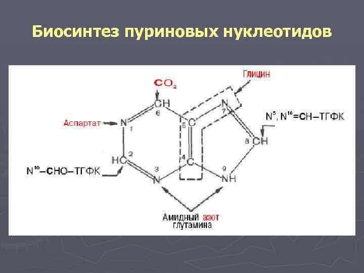 Биосинтез пуриновых нуклеотидов