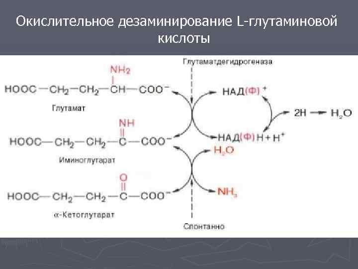 Окислительное дезаминирование L-глутаминовой кислоты