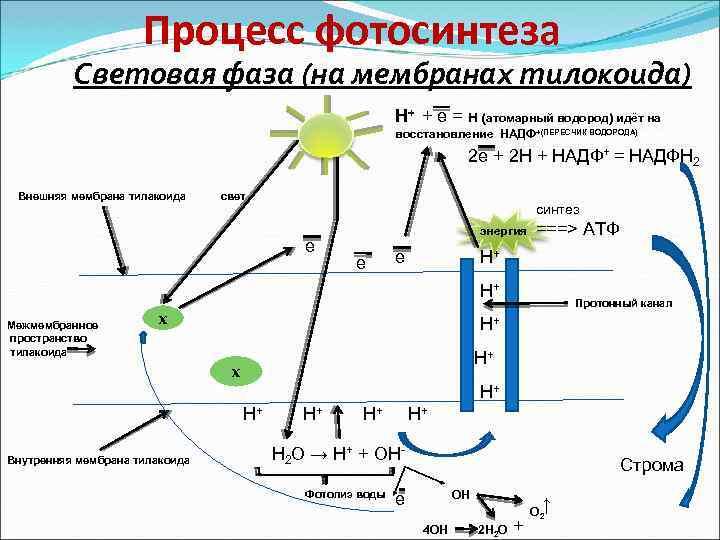 фотосинтез механизм процесса два двухместных номера