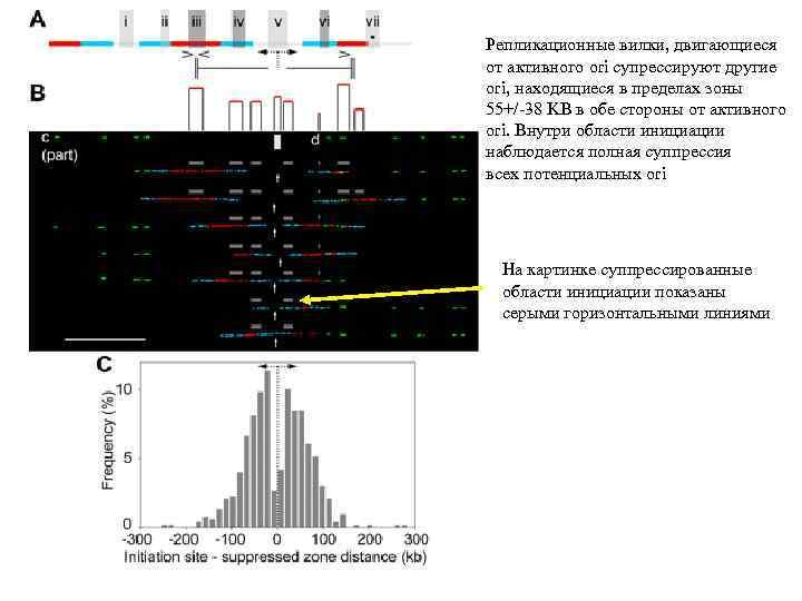 Репликационные вилки, двигающиеся от активного ori супрессируют другие ori, находящиеся в пределах зоны 55+/-38