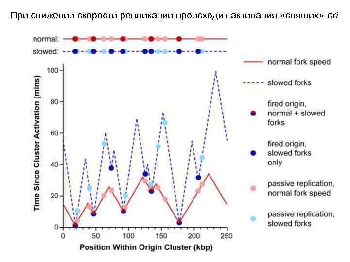 При снижении скорости репликации происходит активация «спящих» ori