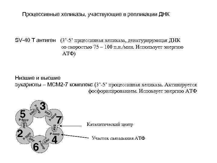 Процессивные хеликазы, участвующие в репликации ДНК SV-40 T антиген (3'-5' прцессивная хеликаза, денатурирующая ДНК