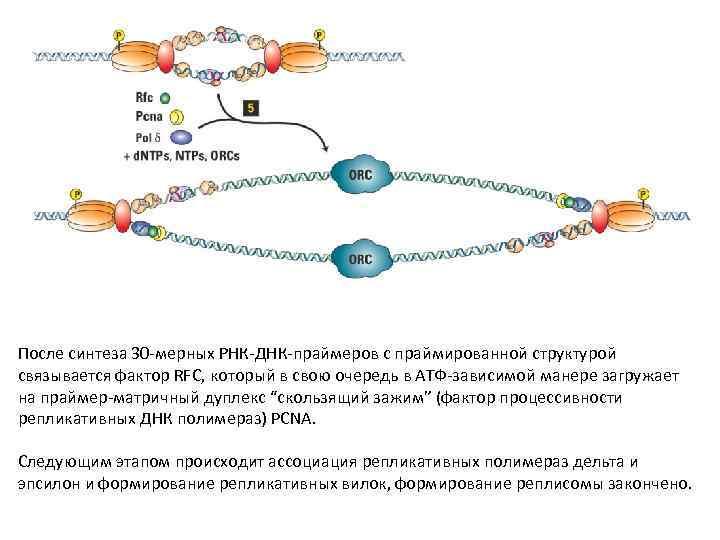 После синтеза 30 -мерных РНК-ДНК-праймеров с праймированной структурой связывается фактор RFC, который в свою