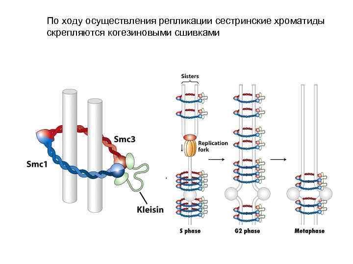 По ходу осуществления репликации сестринские хроматиды скрепляются когезиновыми сшивками