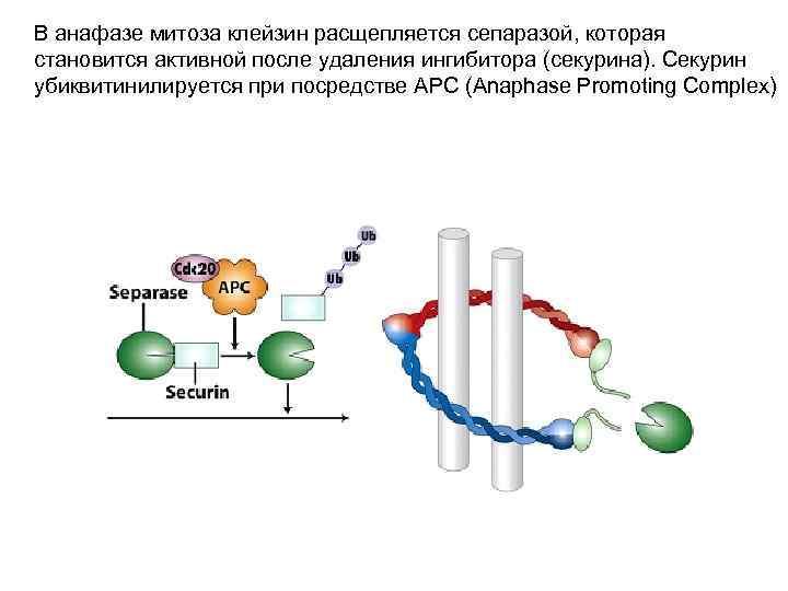В анафазе митоза клейзин расщепляется сепаразой, которая становится активной после удаления ингибитора (секурина). Секурин