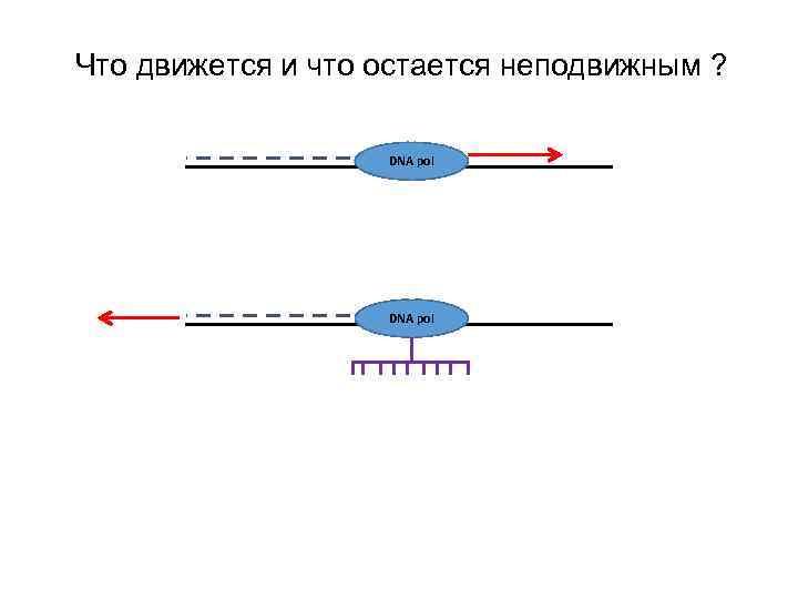 Что движется и что остается неподвижным ? DNA pol