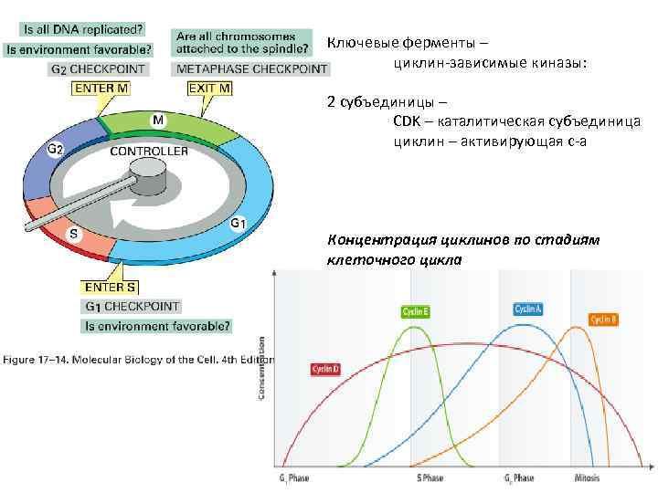 Ключевые ферменты – циклин-зависимые киназы: 2 субъединицы – CDK – каталитическая субъединица циклин –