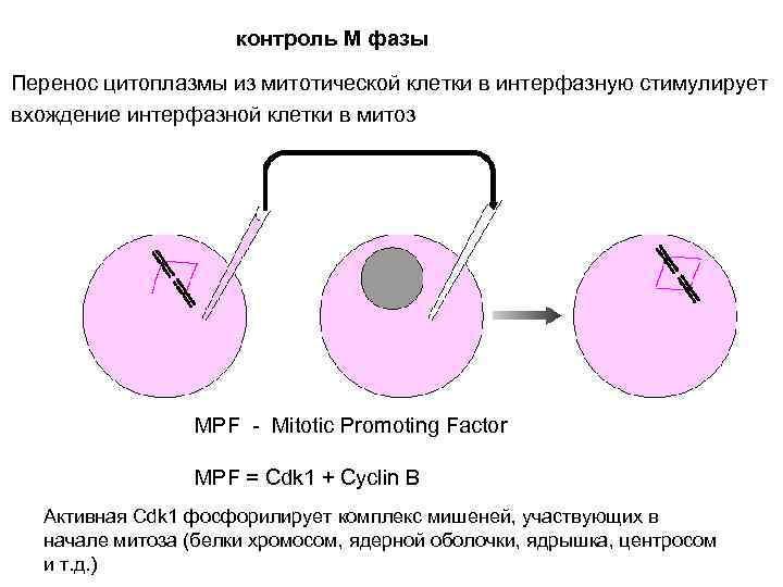 контроль М фазы Перенос цитоплазмы из митотической клетки в интерфазную стимулирует вхождение интерфазной клетки