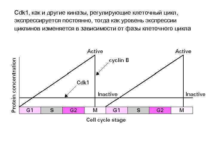 Cdk 1, как и другие киназы, регулирующие клеточный цикл, экспрессируется постоянно, тогда как уровень