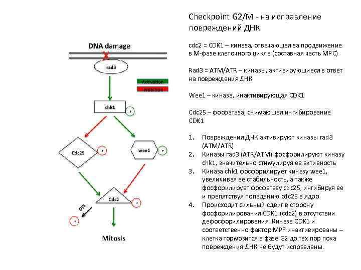 Checkpoint G 2/M - на исправление повреждений ДНК cdc 2 = CDK 1 –